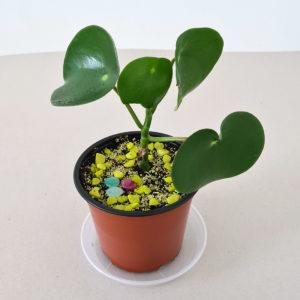 Flower Peningablóm, Pilea Peperomioides