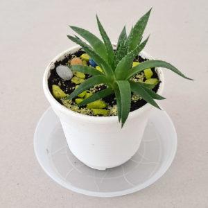 Flower Aloe aristata